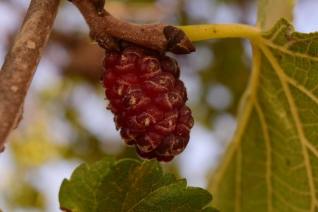 mulberry-tree-1603960_1920