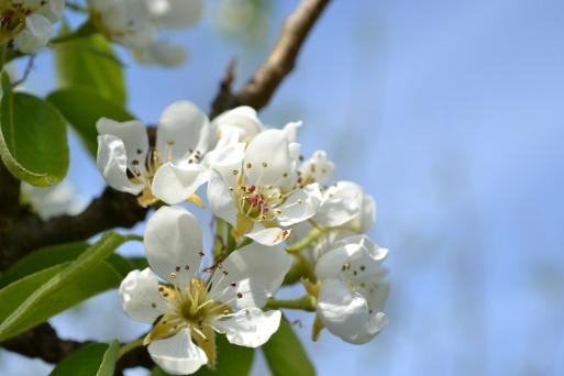 pear-blossom-276463_1920