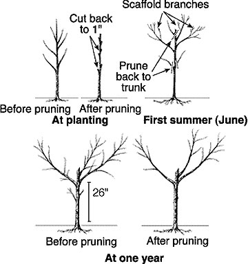 First Year Fruit Tree Care 5 Easy Things To Do Now