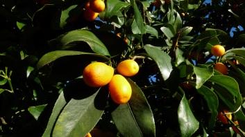 kumquat-2852236